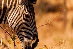 Vedere la zebra delle bande Fotografie Stock Libere da Diritti