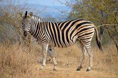 Vedere la zebra delle bande Immagine Stock Libera da Diritti