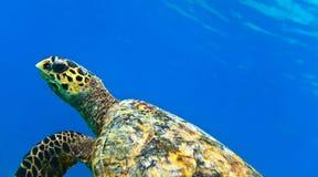Vedi la tartaruga Immagini Stock Libere da Diritti