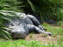 Vedivi alligatore successivo & x28; in un crocodile& x29 di attimo; Fotografie Stock