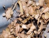 Vedova nel Web - un certo granulo Fotografia Stock