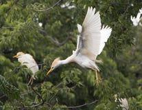 Vee-aigrette die binnen voor het landen in een boom vliegen Stock Foto's
