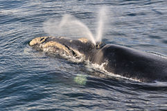 VEE-BLOW. The distinct V-blow of the Southern Right whale Stock Photo