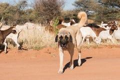 Vee die hond bewaken royalty-vrije stock afbeeldingen