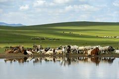 Vee en schapen bij een waterpoel in de Mongoolse steppe royalty-vrije stock foto