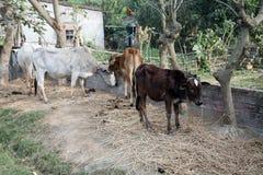 Vee het weiden in dorp Kumrokhali, West-Bengalen Stock Afbeeldingen