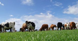 Vee het weiden in het landbouwbedrijf 4k stock video