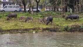 Vee het weiden langs de Parfumrivier, Tint, Vietnam stock afbeeldingen