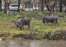 Vee het weiden langs de Parfumrivier, Tint, Vietnam stock foto's