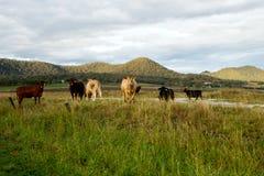 Vee in het weiland in Australië Stock Foto
