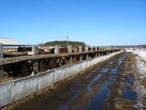Vee-kwekend landbouwbedrijf in de lente Royalty-vrije Stock Afbeelding