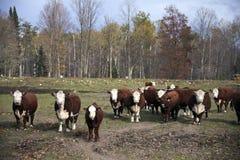 Vee met de gehele koefamilie Royalty-vrije Stock Afbeelding