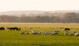 Vee met schapen bij zonsopgang Stock Afbeelding