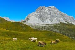 Vee op een bergweiland stock foto