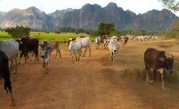 Vee van koeien die naar huis van weiland lopen Stock Foto
