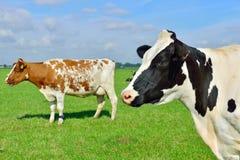 Vee van Koeien in ingediend Stock Foto's