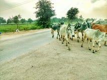 Vee van koeien met weinig ossen stock afbeeldingen