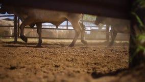 Vee van koeienvoeten stock videobeelden