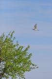 Veeaigrette & x28; Bubulcus ibis& x29; royalty-vrije stock foto
