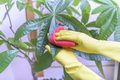 Veeg stof van houseplants af stock afbeelding