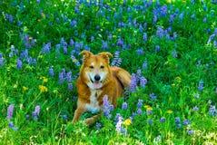 Veehond in wildflowers Stock Fotografie