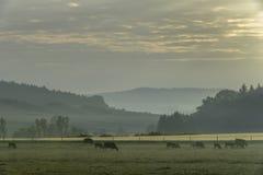 Veekudde het weiden bij zonsopgang Stock Fotografie