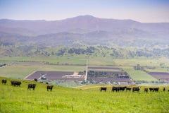Veekudde op een weiland omhoog in de heuvels; vallei met landbouwgebieden en bergen op de achtergrond, baai de Zuid- van San Fran stock afbeeldingen