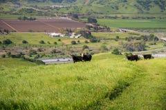 Veekudde op een weiland omhoog in de heuvels; vallei met landbouwgebieden en de weg op de achtergrond, Zuid-San Francisco stock fotografie