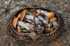 Veel bospaddestoelen zoals eekhoorntjesbroden, rood-caped scaber ruw-gestamde steel, of berk bolete in de rieten mand royalty-vrije stock foto