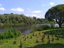 Veel eenden die bij park lopen royalty-vrije stock foto
