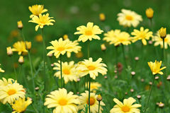 Veel gele margrieten Stock Afbeeldingen