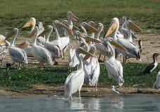 Veel Grote Witte Pelikanen Royalty-vrije Stock Afbeeldingen
