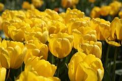 Veel heldere gele tulpen in de tuin in de zon royalty-vrije stock fotografie