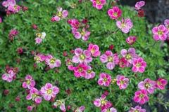 Veel heldere roze bloemen sluiten omhoog op groene grasachtergrond stock fotografie