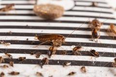 Veel kakkerlakken zijn gevangen door de sticker of de vanger royalty-vrije stock afbeeldingen