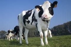 Veel koeien op het gebied Stock Afbeelding
