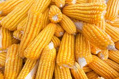 Veel Maizebhutta-gewassen, Thakurgaon, Bangladesh Royalty-vrije Stock Foto