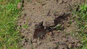 Veel mieren en mierenhoop in de tuin stock footage