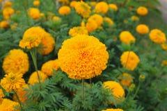 Veel mooie goudsbloembloemen in een park Selectieve nadruk Royalty-vrije Stock Fotografie