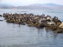 Veel pelikanen Stock Afbeelding