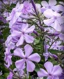 Veel Purpere Bloemen Royalty-vrije Stock Afbeelding