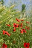 Veel rode papavers in de tarwe royalty-vrije stock foto