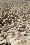 Veel schapen royalty-vrije stock foto's