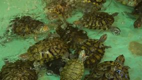 Veel Schildpadden die in een Kunstmatige Vijver zwemmen stock video