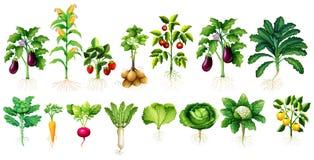 Veel soort groenten met bladeren en wortels stock illustratie