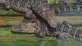 Veel van het krokodillandbouwbedrijf aligators boze achtergrond stock video