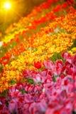Veel veelkleurige tulpen Stock Fotografie