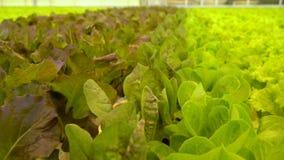 Veel verschillende soorten salade in serre stock footage