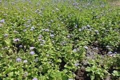 Veel violette bloemen van Ageratum royalty-vrije stock foto's