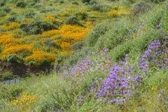 Veel wilde bloembloesem in Diamond Valley Lake Stock Afbeeldingen